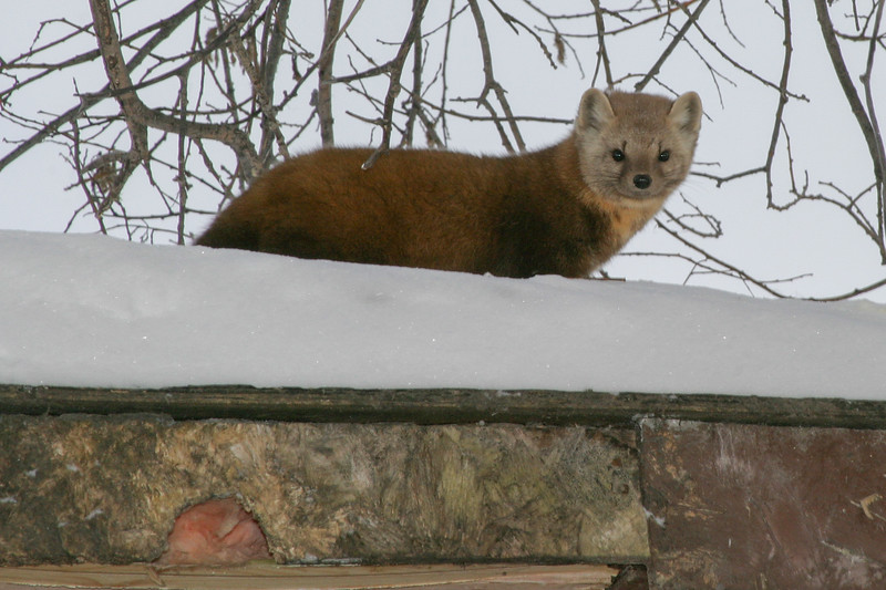 Marten on shed roof 2005 January 29