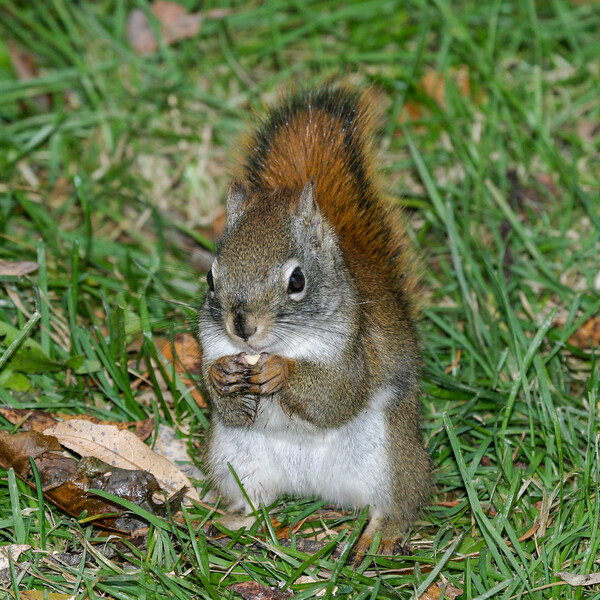 Squirrel eating a peanut. 2004 October 24