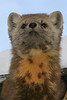 2005 January 29 Marten half out of shed looking ahead. Vertical crop - tight