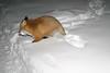 Fox walking away with egg