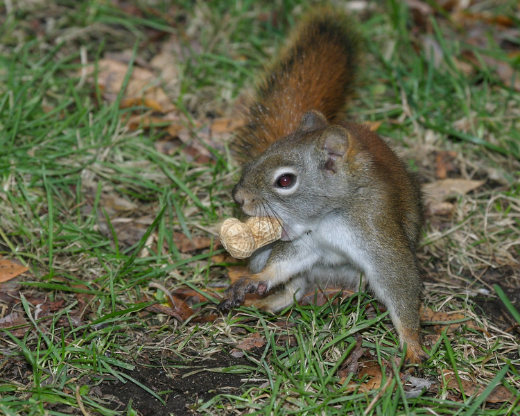 Squirrel with a peanut in the shell in its mouth 2004 October 24