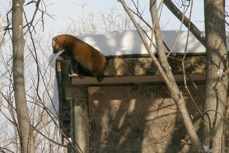 Marten exiting from shed 2005 January 29.