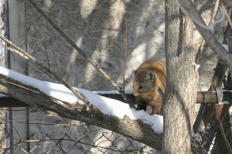 Marten in the trees 2005 January 29