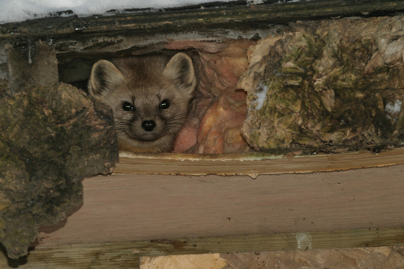 Marten peering out from under shed roof.