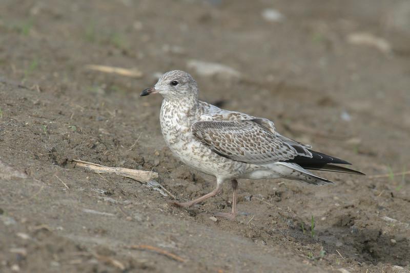 Juvenile seagull 2004 September 7.