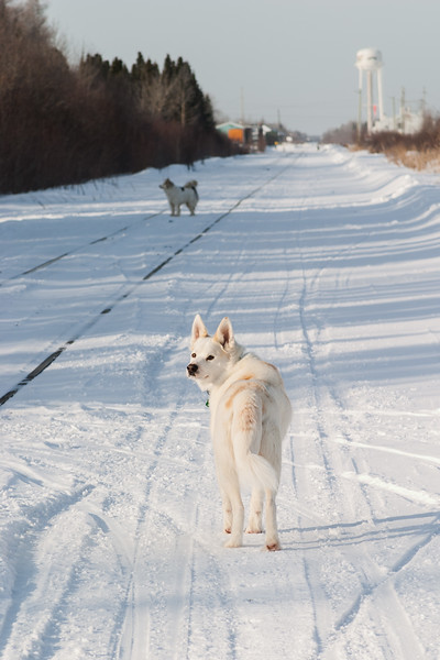 Two dogs walking along the tracks view towards Moosonee station. 2005 March 23
