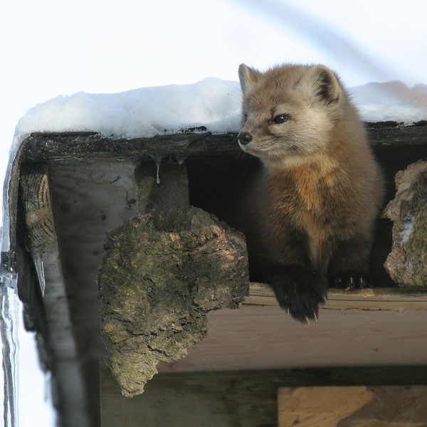 Martin partially out of his nest in a shed roof.