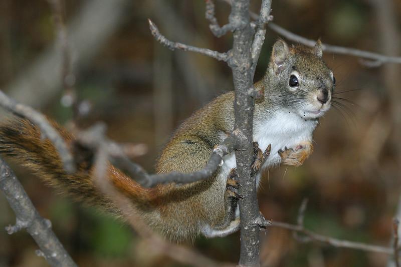 Squirrel in tree 2004 October 24