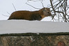 Marten on shed roof looking ahead