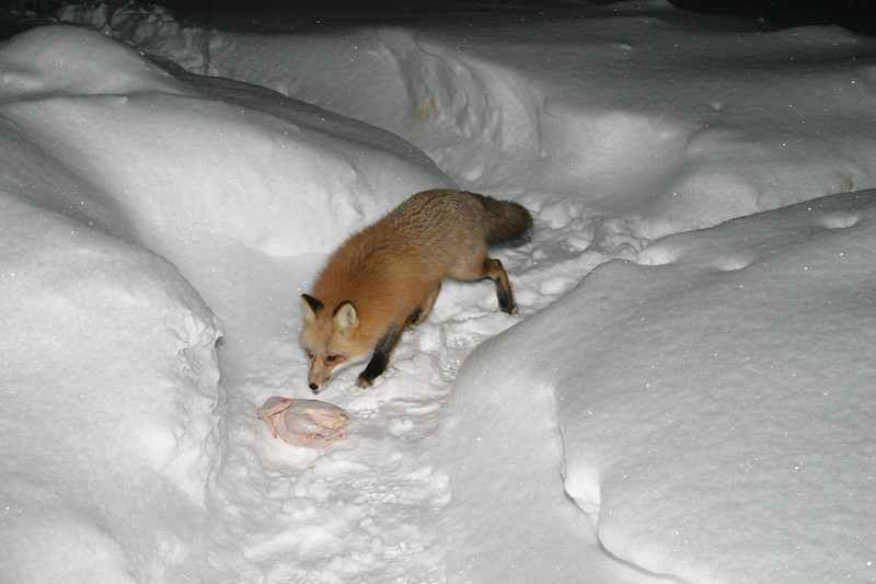 Fox with chicken, night time shot.