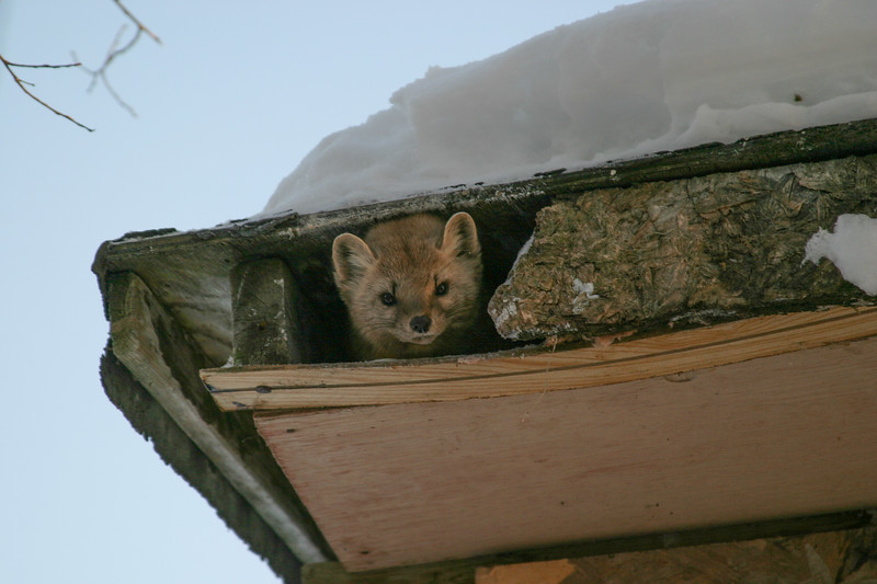 Marten in attic of shed. 2004 December 30.