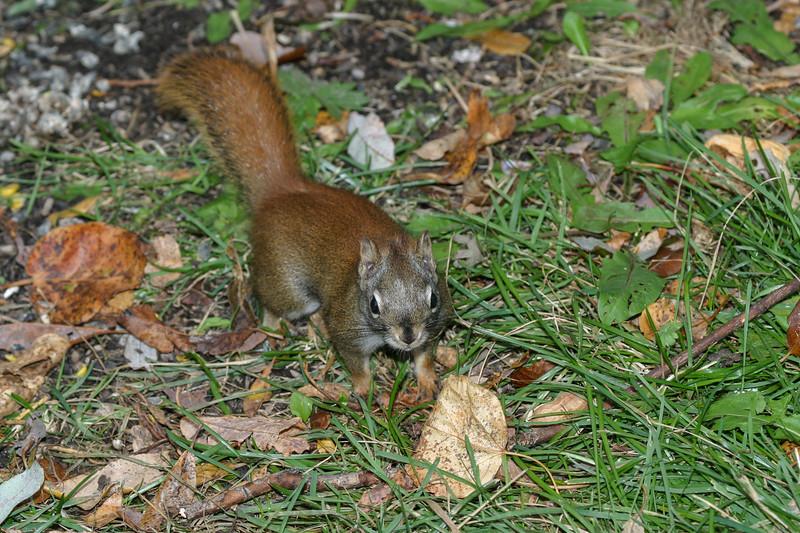 Squirrel looking up. 2004 October 24