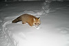 Fox in snow