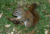 Squirrel from the side, claws on one paw extended. On hind legs. 2004 October 24