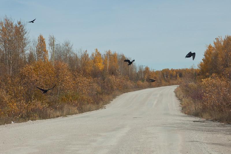 Ravens near dump