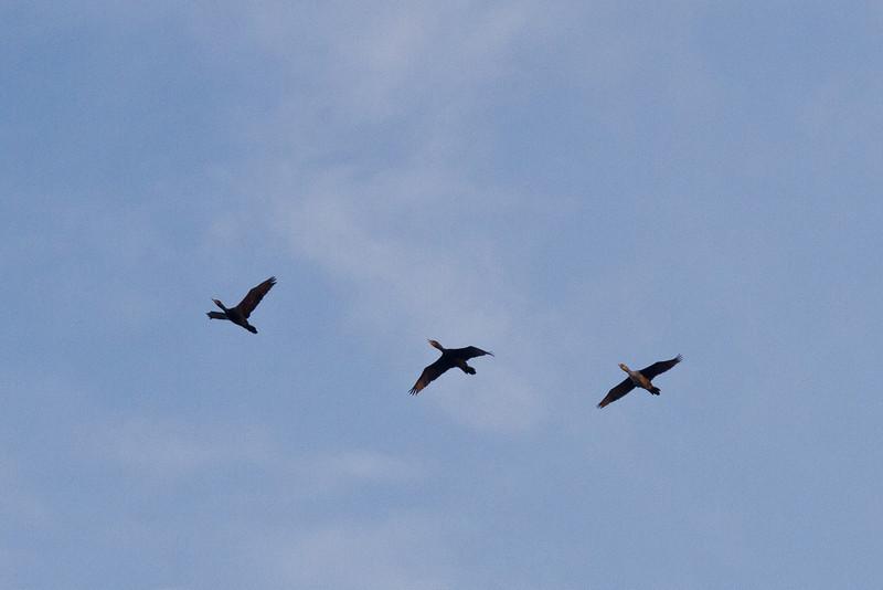 Geese over Moosonee