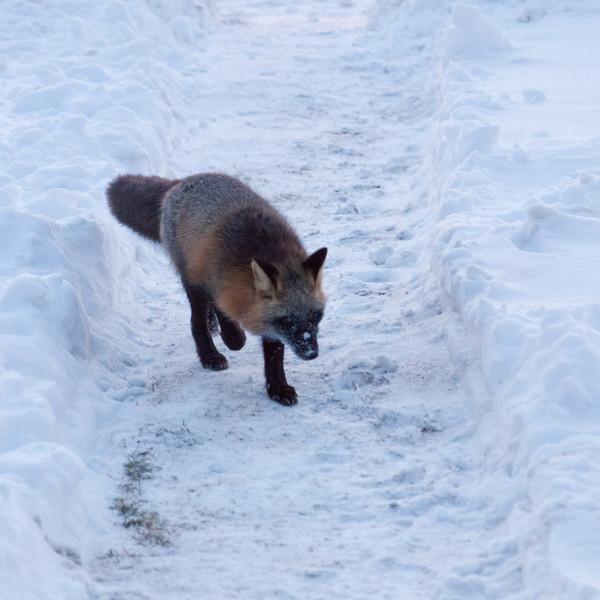 Dark fox on lawn.