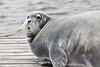 Seal on Two Bay docks in Moosonee 2011 August 26th