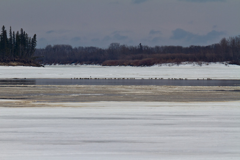 Water and birds on the Moose River 2011 April 23rd