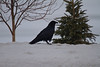Raven on snowbank across the road