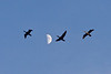 Three geese flying past the moon 2011 May 10th