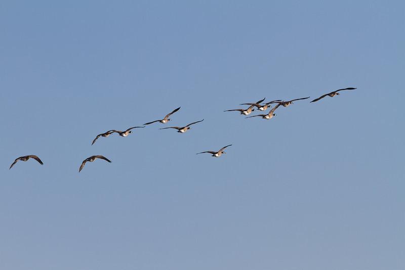 Geese above the sandbar in the Moose River at Moosonee, Ontario.