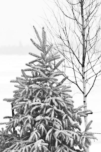 Fresh snow on a conifer