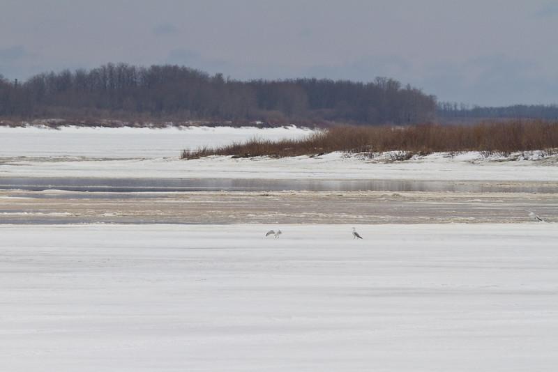 Seagulls on the ice.