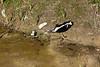 Skunk near sewage lagoon.