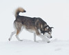 Dog walking on snow bank 2011 February 18th