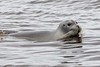 Gray seal in the Moose River.