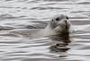 Gray seal in the Moose River at Moosonee.