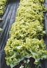 Roll 131: Garden probably lettuce growing.