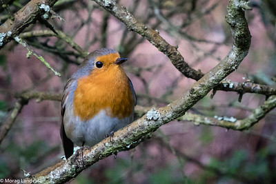 Robin and lichen