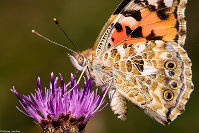 Painted Lady - Detail
