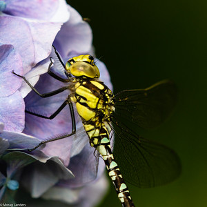 Southern Hawker - Detail