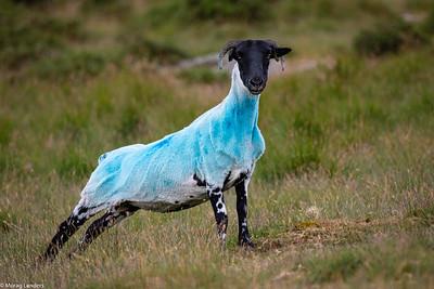 Dartmoor Blue
