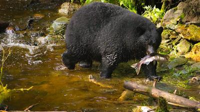 Black Bears (1 of 1)-4