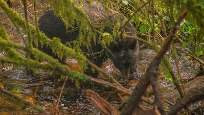 Black Bears (1 of 1)-8