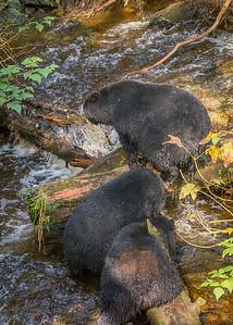 Black Bears (1 of 1)-3
