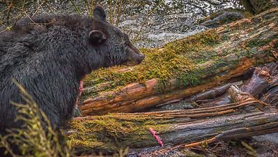 Black Bears (1 of 1)-6