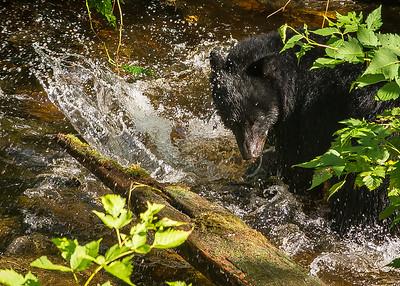 Black Bears (1 of 1)-2
