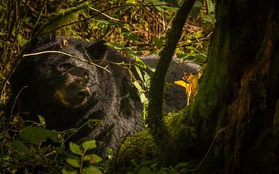 Black bear eyeballing me.