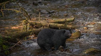 Herring Cove Black Bears (1 of 1)-4 (2)