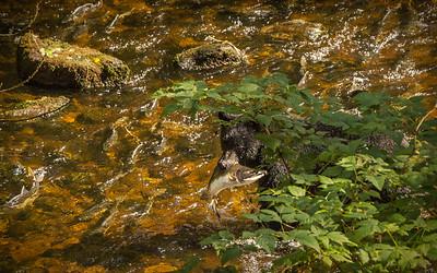 Herring Cove Black Bears (1 of 1)-11