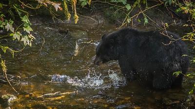 Black bear eyeballing a snack