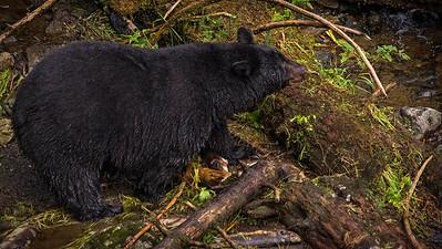 Herring Cove Black Bears (1 of 1)-5 (2)