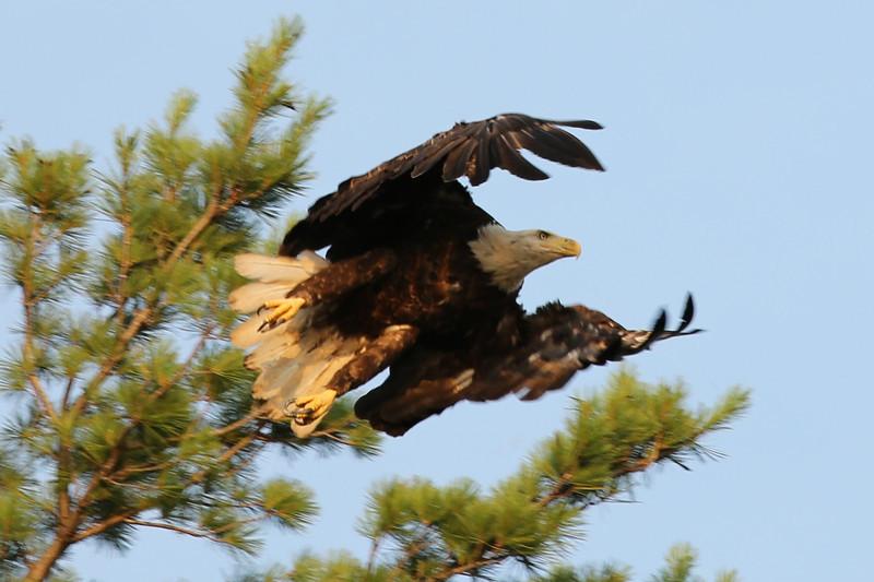 Eagle, Portage Lake, MI
