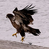Eagle on Portage Lake, MI