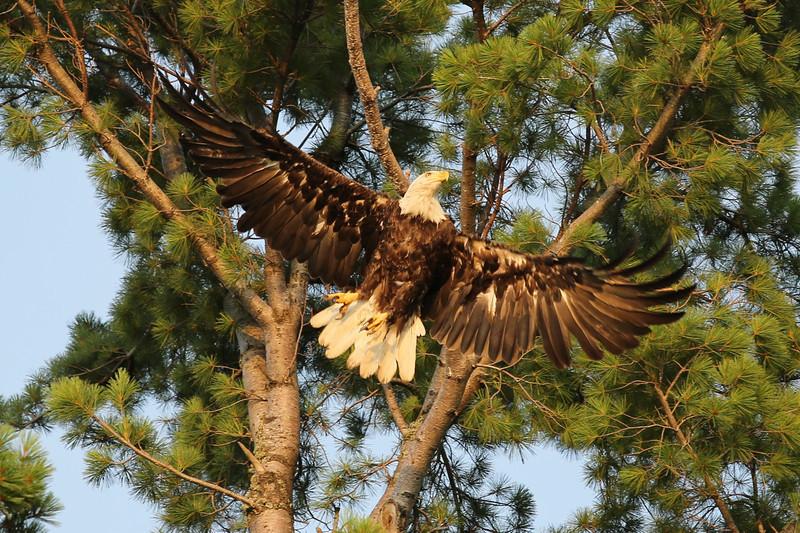 Eagle On Portage Lake, MI